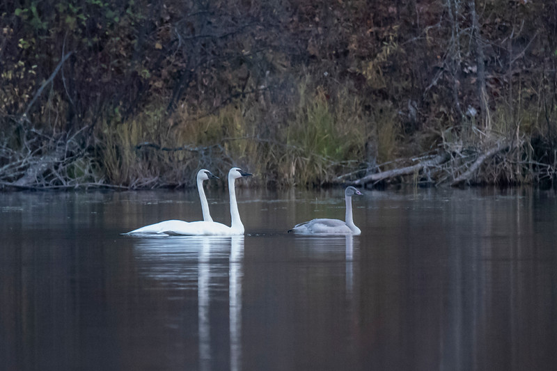 We occasionally have a pair of Trumpeter Swans that visit the small northern Minnesota lake where we have our log home.  Usually they stay for a couple of hours feeding on the plants in the lake and then they leave.  A couple of weeks ago, we had two pairs of swans on the lake at the same time, and each pair had a juvenile with them.  The juvenile is smaller than the adults and has gray feathers.