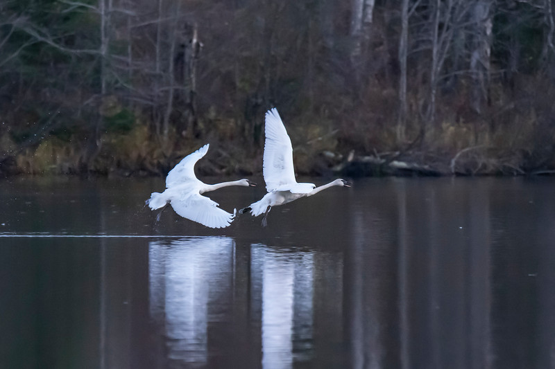 One family of swans was at our end of the lake and the other family was at the other end of the lake.  Suddenly, the pair at our end lifted off the water and began flying toward the other family.