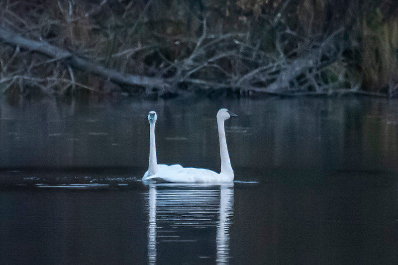 This is a funny photo.  Two of the adult swans were positioned in such a way that they looked like a two-headed swan.