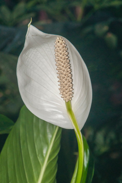 There are some Calla Lilies blooming.