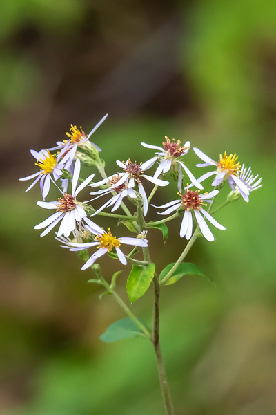 Asters are a late blooming flower.  They always signal to me that fall is upon us.