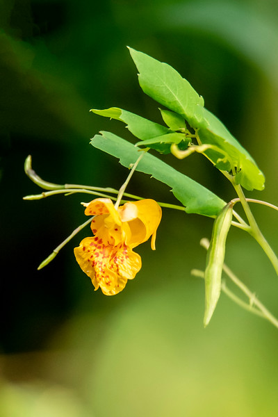 Spotted Touch-me-not is also known as Orange Jewelweed.  The flower is so intricate that it looks like an orchid even though it's not in that family.  The flower develops into a green seed pod like the one on the right side of this photo.  When the seed pod dries, it will burst open at the slightest touch, hence the name Touch-me-not.