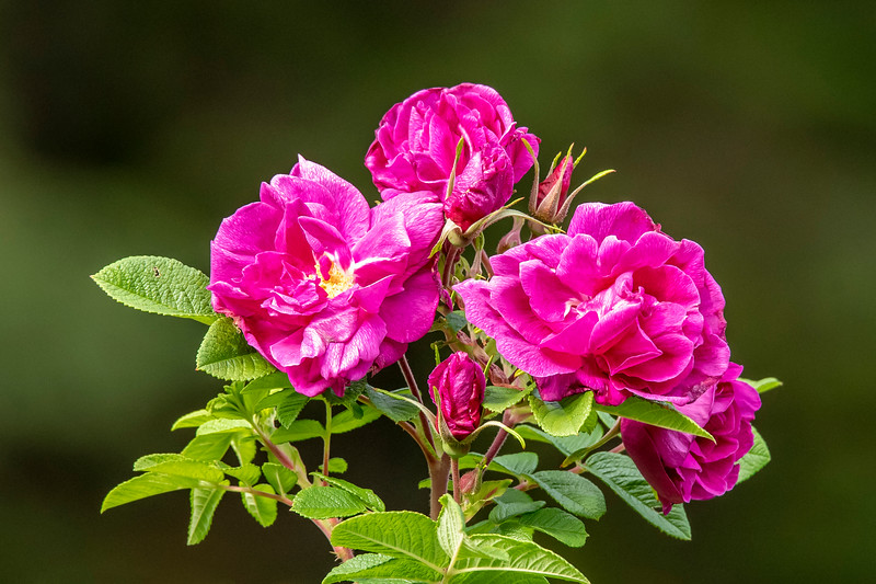 When we took our trip to the North Shore in the middle of September, we found several kinds of wildflowers still blooming.  We stayed at Fenstad's Resort and there were lots of Wild Rose bushes.  This set of four open blossoms and two more buds made a very pleasing arrangement.