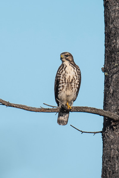 I passed a large clear-cut area with just a few trees left standing.  This juvenile Broad-winged Hawk was perched in one of those trees.  It was surveying the area looking for something to eat.