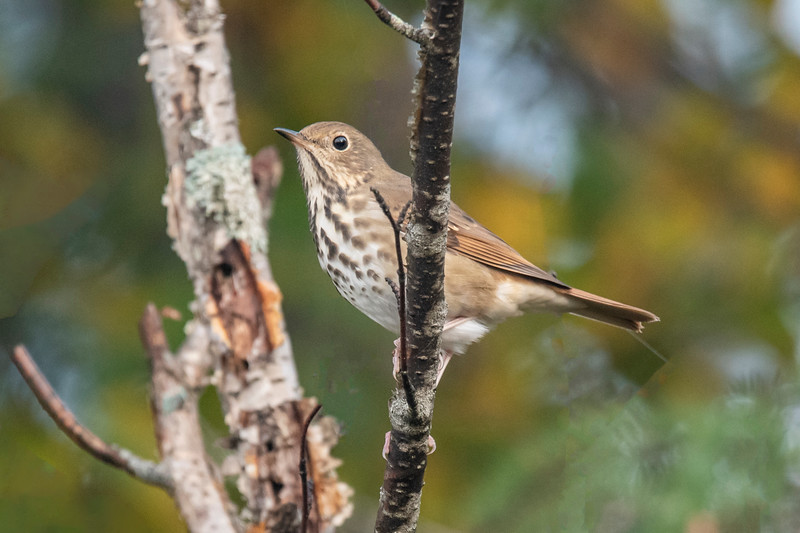 This Hermit Thrush and the rest of the birds in this set, were all photographed along the East General Grade Road in Lake County.  Several thrush species look very similar but the reddish tail on this bird identifies it as a Hermit Thrush.