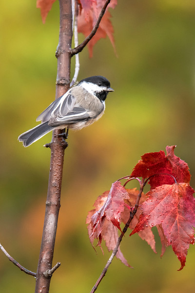 These bird photos were all taken during our mid-September trip to the North Shore.  <br /> <br /> Black-capped Chickadees are energetic and cheerful little birds.  I liked getting a photo of this one next to some colorful fall leaves on Park Hill Road in Lake County.