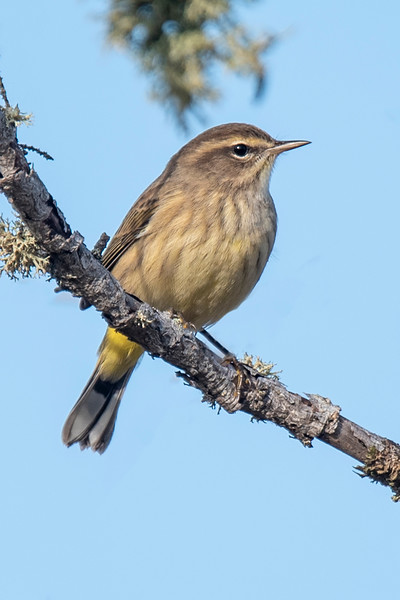 This Palm Warbler also looks quite drab.  In spring, it would have a brown cap and bright yellow feathers under the tail.