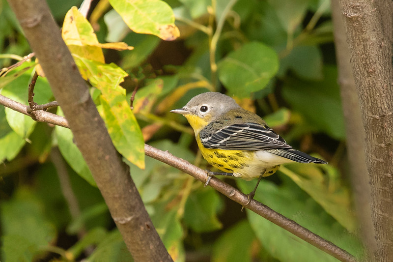Here's a female Magnolia Warbler.  The plumage of many warblers is faded by the time fall comes around.  For instance, the spots on her belly would have been solid black in the spring and would have been close enough together that they might have looked like solid lines.