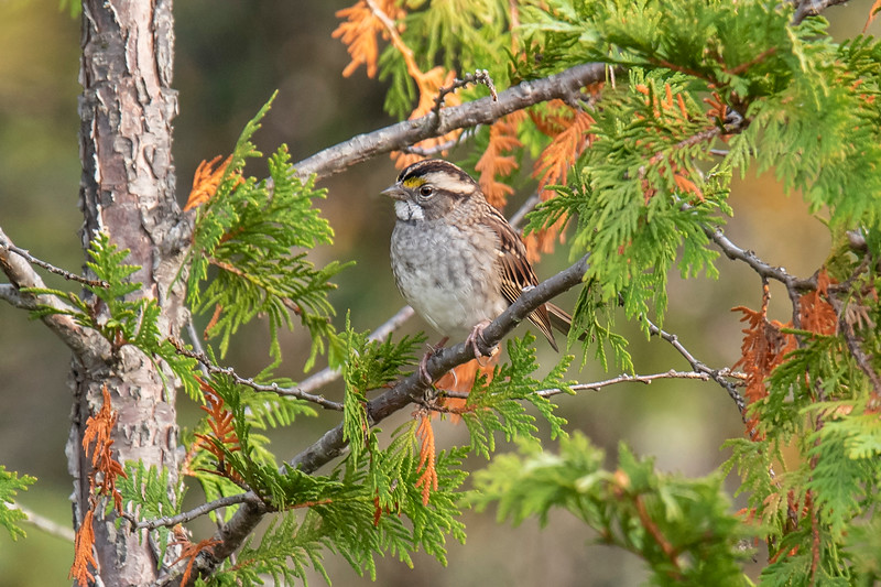 I found a White-throated Sparrow that was quite well hidden in a Cedar tree.