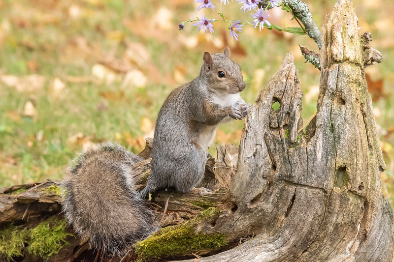 For the 20+ years that we have had our home in northern Minnesota, we've only had Red Squirrels in our yard.  This year, we have been seeing a pair of gray Squirrels with some regularity.