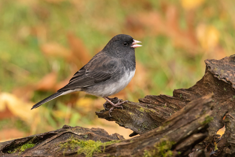 Dark-eyed Juncos were one of the migrants I was trying to attract.  They nest in Canada and Alaska but return to the lower 48 for the winter.  There are six different Junco subspecies, each having different plumages.  The one that travels through our area is called Slate-colored.  To make it even more confusing, some Slate-colored Juncos are dark, like this one.