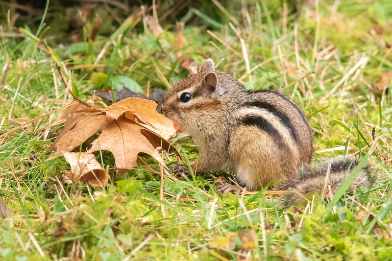Chipmunks gathered seeds in their cheek pouches and scurried off to store them for the coming winter.