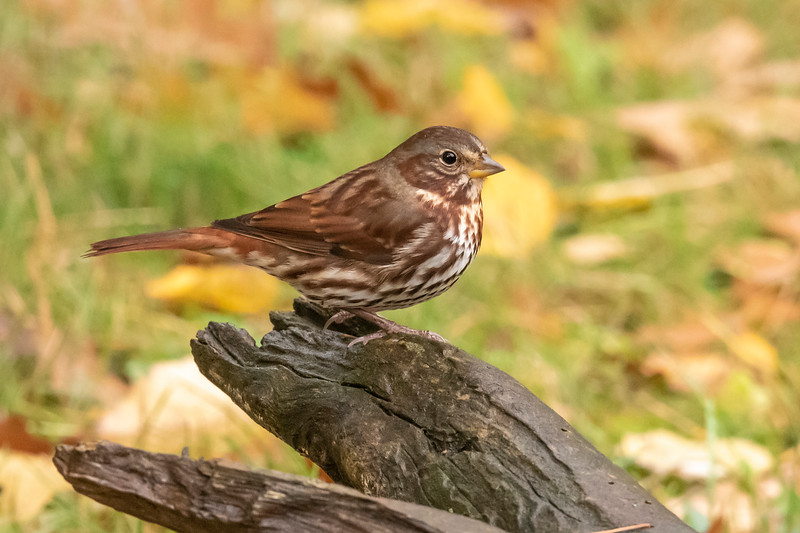 Another migrant that was passing through was this Fox Sparrow.  There is some color variation between Fox Sparrows from different parts of the country.  The ones we see in our area have a reddish tint to their plumage like this one.