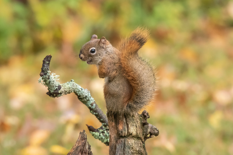 Naturally, our resident Red Squirrels took advantage of the seed smorgasbord in our yard.