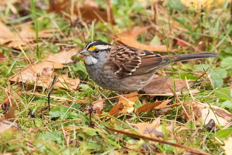 We had a small flock of White-throated Sparrows feeding in our yard.  They usually go farther south for the winter but, last year we had one that stayed in our yard all winter long.
