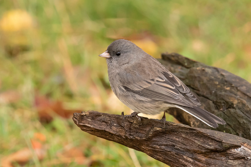 Other Slate-colored Juncos are light gray, like this one.