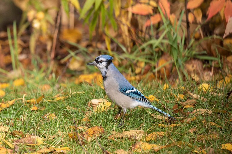 """In an effort to attract some migrating sparrows to our yard this fall, I spread some bird seed on the ground.  It attracted some migrants but also some """"regulars.""""<br /> <br /> Blue Jays disappear from our yard in summer.  I assume they are off in the woods raising their families.  But by fall, they are back in even larger numbers because they bring their youngsters with them."""