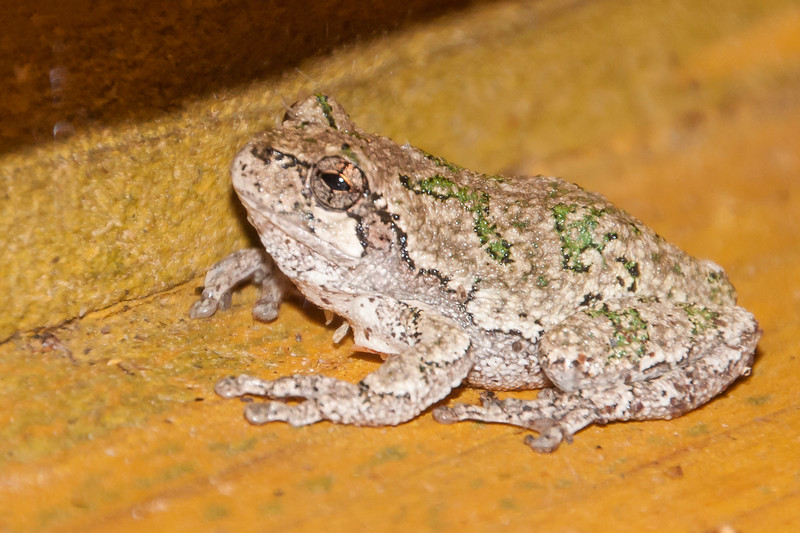 This is also a Gray Treefrog; the whitish patch below the eye is diagnostic.  This Treefrog was on our deck one night when I left the porch light on to attract moths.  Its gray color isn't a perfect match for the deck but its better than the green color.