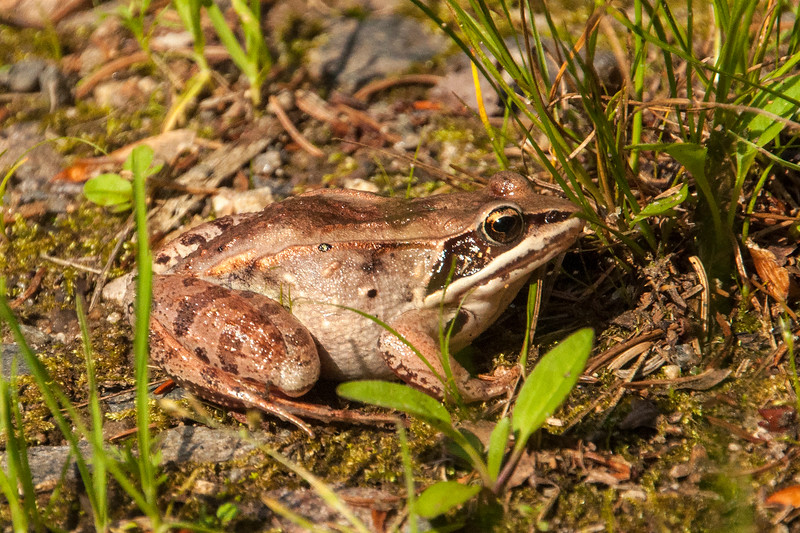 The dark mask identifies this as a Wood Frog.  It was in our driveway after a rainstorm.  It measures 1 3/8 to 2¼ inches long.  True to its name, it spends a lot of time in the woods.