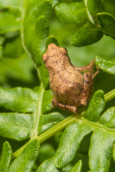 The spring Peeper is very small, measuring only ¾ to 1 inch long.  It's a little hard to see in this photo but a good diagnostic field mark is the dark X on its back.  Spring Peepers are also common among the ferns by our wind turbine.