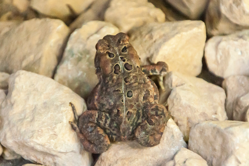The American Toad is the only toad found in our area.  It measures 2 to 3½ inches long.  This one was resting on the rocks among the plantings around our house.