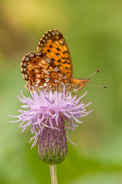 Here's the underside of the wings of this Silver-bordered Fritillary.  The color pattern of both the upper and lower sides of the forewing are very similar.  However, the underside of the hindwing, with its many white spots, looks quite different than the upper side.