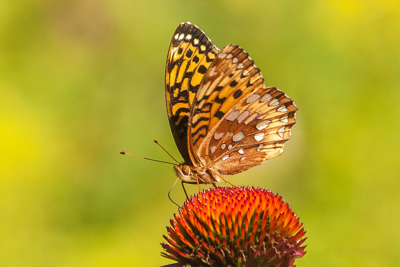 This butterfly has the same patterns on its wings as the butterfly in my first photo, except it is dark along the outer edge of the upper wing.  I have read that female Great Spangled Fritillaries are darker than males so perhaps this is a female.