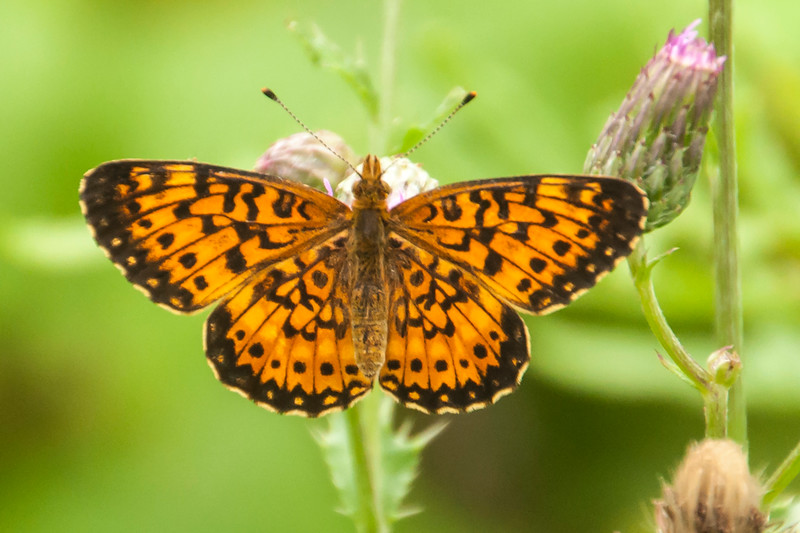The other fritillary species that I saw this summer was this Silver-bordered Fritillary.  It's a smaller butterfly, with a wingspan of 1½ to 2 inches.  The caterpillars of both kinds of fritillaries prefer violets as their host plant.