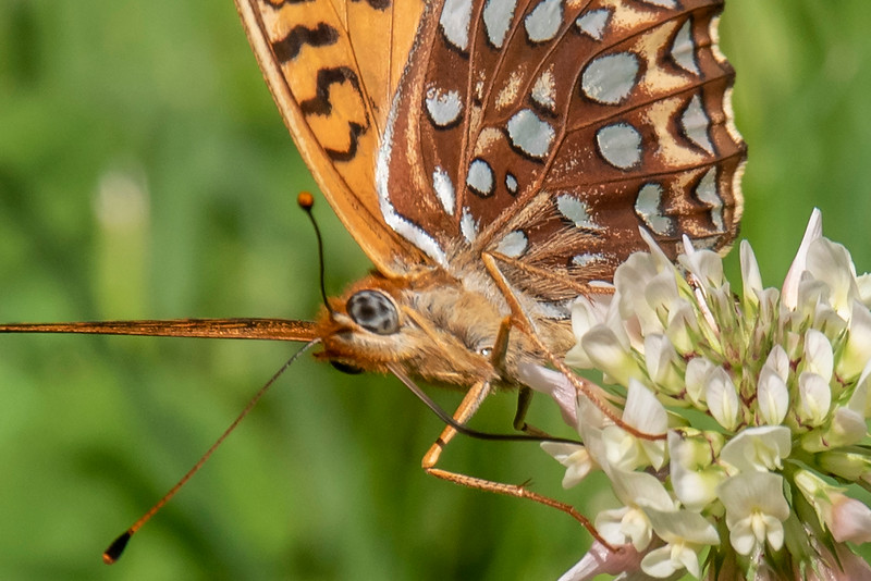 I took a close-up of this Great Spangled Fritillary to show the interesting pattern on its eye.