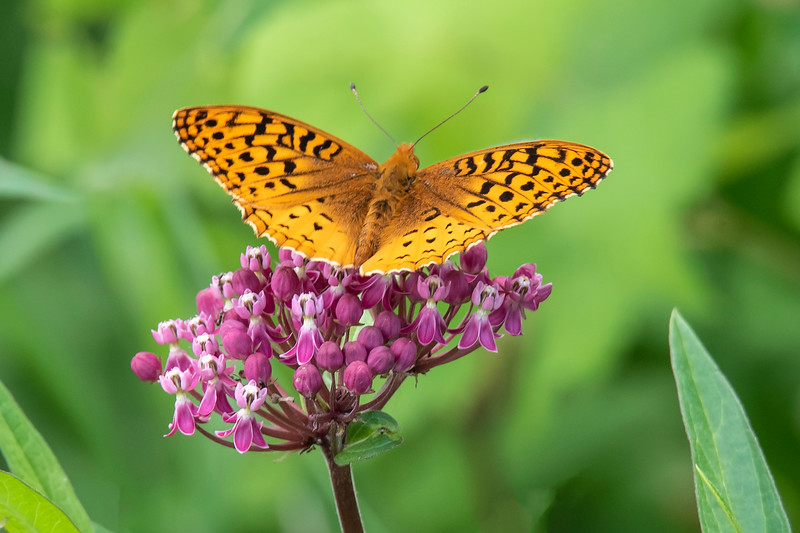 We had two kinds of fritillary butterflies visiting our yard this summer.  This is a Great Spangled Fritillary on a Swamp Milkweed flower.  With a wingspan of 2½ to 3½ inches, it is a fairly large butterfly but still not as big as a Monarch, which has a wingspan of 3½ to 4½ inches.