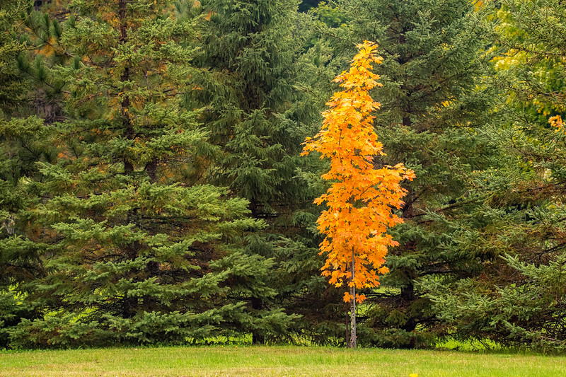 Also, along Lax Lake Road, I found this colorful little Maple tree standing out from the evergreen trees behind it.