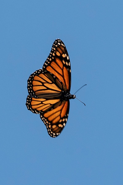 I'm proud of this photo.  It's the first time I've been able to photograph a Monarch butterfly while it is flying.  During our walk around the resort we saw several Monarchs, and this one flew directly overhead.  I took a chance and ended up with a decent shot.