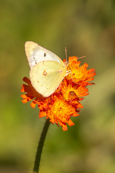There were still a few butterflies in the area.  This is a Clouded Sulfur, and it's on an Orange Hawkweed flower.
