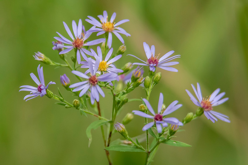Asters are blooming; a sign that summer is ending here in northern Minnesota.  So, here's a collection of summer wildflowers that I have photographed this year.