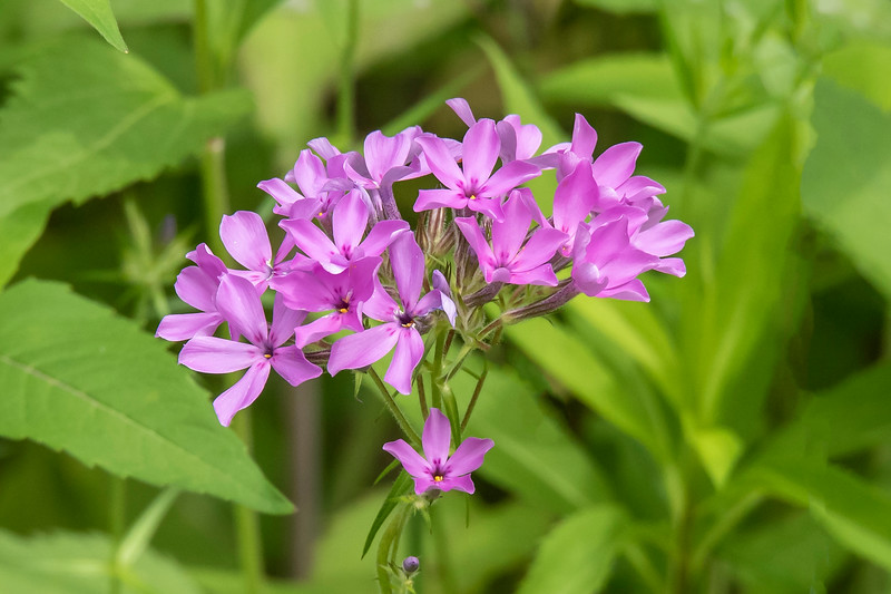 One of the early blooming plants in our wildflower garden is Downy Phlox.  It provides a bright pink/purple splash of color before most of the other plants have flowers.