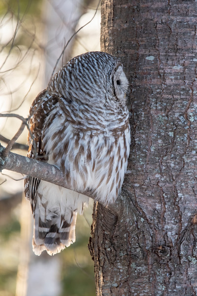 When the owl turned its head, a very different pattern of feathers could be seen.