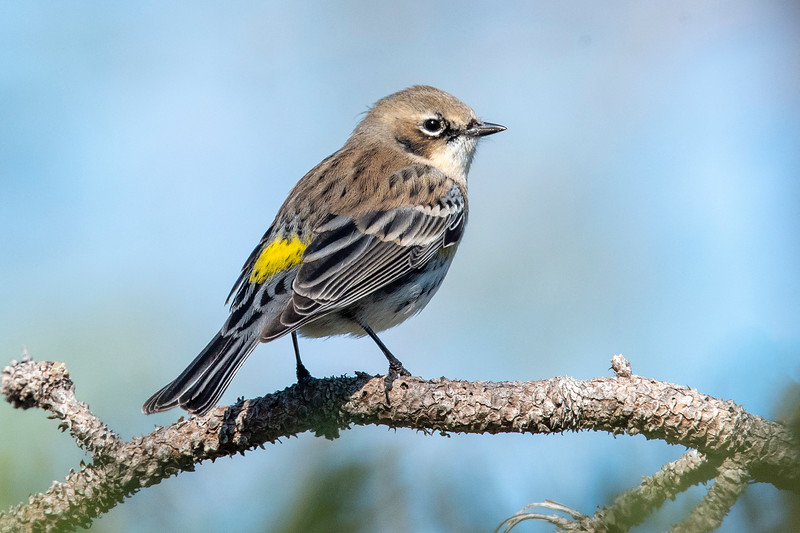 Yellow-rumped Warblers are the most common warbler to be found in Florida when we are there.  You can see how this bird got its name!  This photo was taken at Sikes Cut on St. George Island.