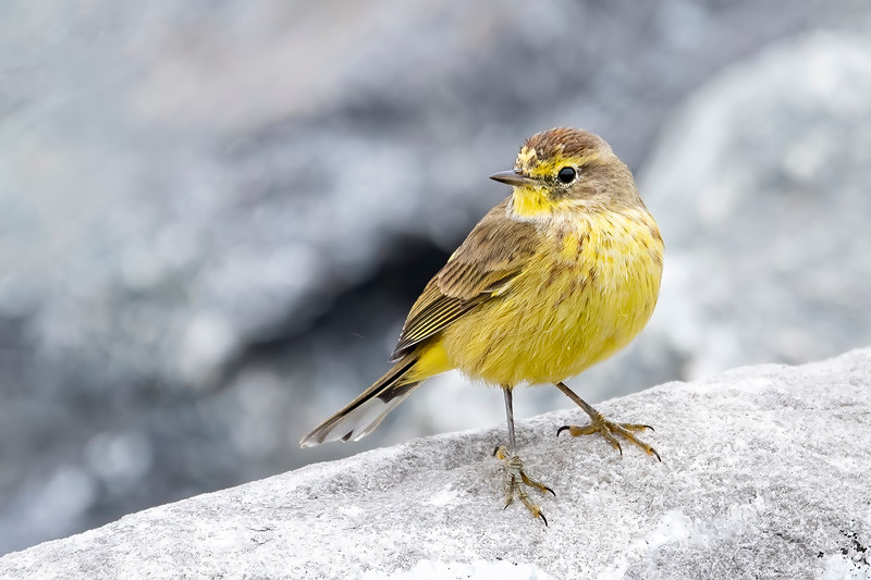 Many warblers leave the United States in winter and head for Central and South America.  Some, however, stay in the southern states and I get to see them when we go to Florida in January and February.  This Palm Warbler was foraging among the rocks on St. George Island.