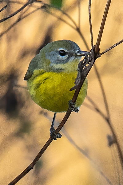 My birding friend, John Murphy, helped locate this Prairie Warbler at Alligator Point.  This is a very uncommon bird in Minnesota during the summer, so I was glad to see and photograph it.