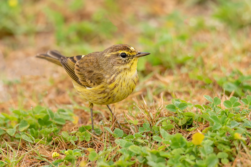 Here's another Palm Warbler hopping around on the grass near the house we rented.