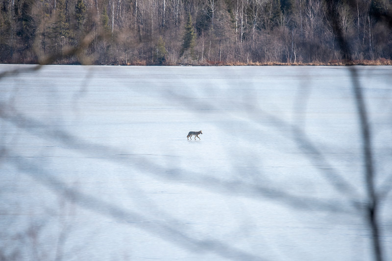 When I heard the swans calling, I went out on our porch to see them.  I noticed something moving across the ice at the far end of the lake.  Ours is a small lake, but that is still a long distance from where I was standing.  I recognized that it was a Coyote.  I decided to try a shot just to see what I would get.  I focused on the Coyote and this is the full frame shot that I took.
