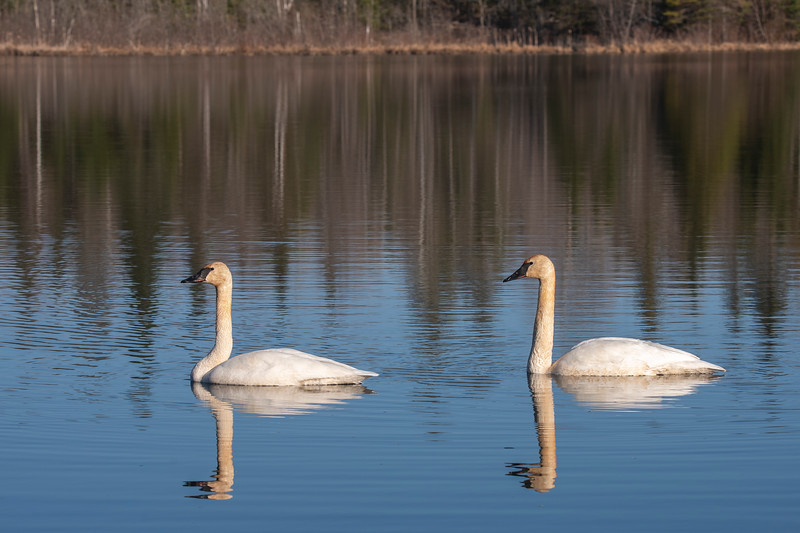 On Friday, three days later, the lake was ice-free, and the swans were back.  I went down to our shoreline with my camera and was just watching them.  They started to slowly swim toward me.  I guess they were just curious because they kept coming until they were only 30 feet from me.