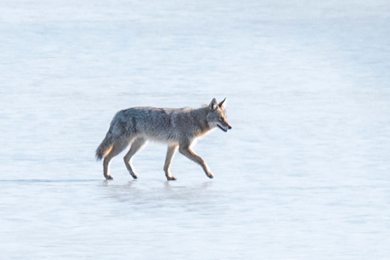 I worked on that Coyote photo in Photoshop and heavily cropped it.  This is not a great shot, but it will do for a record shot.