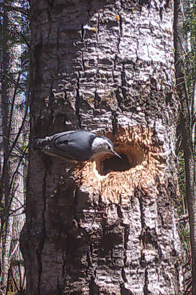 "This is a follow-up to my March 22 posting.  I showed you a freshly excavated hole in a tree and said I would keep my trail camera focused on it to see what bird made the hole.  I actually found this hole in a different tree that made it easier to set up my trail camera.  I did get some photos of a deer passing by the tree.  Finally, on Tuesday, I got a photo of this White-breasted Nuthatch looking in the hole.  A search of the online source ""Birds of the World"" confirmed that White-breasted Nuthatches often use woodpecker holes, but they don't excavate their own holes.  So, I'm still thinking a woodpecker made the hole, but it will be interesting to see if the nuthatch uses it."