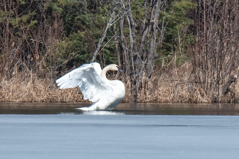 One of the swans started flapping its wings, so I took a burst of shots at 1/2500 of a second.  This frame shows the bird with its wings pulled back.