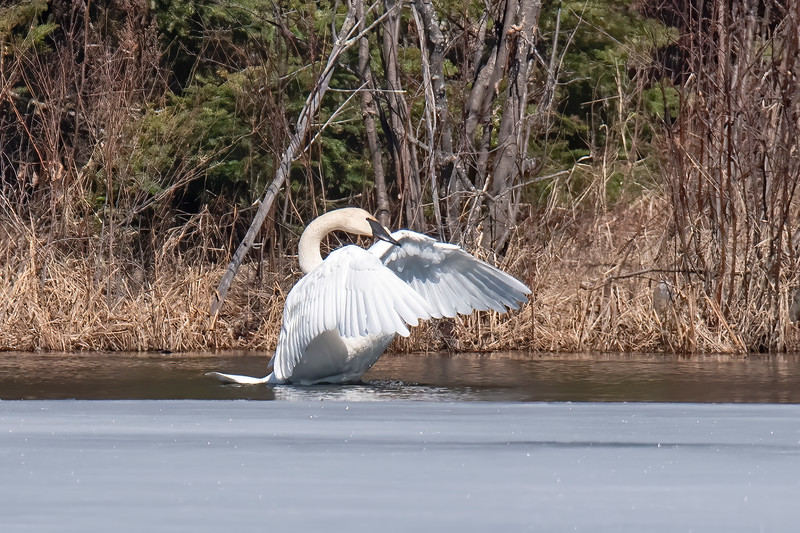 This frame shows the swan's huge wings in a forward position. They have a wingspan of nearly 7 feet.