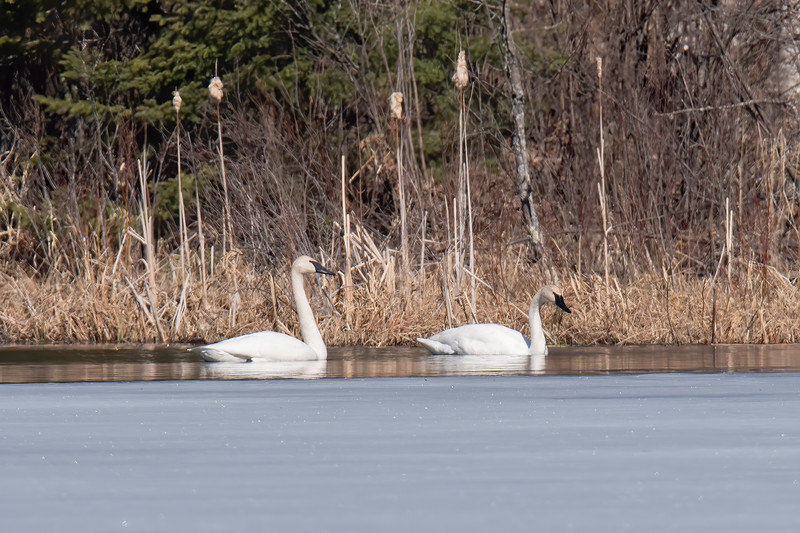 Last Tuesday, our lake was still 95% covered with ice.  There was just a narrow band of open water on two sides of the lake, but that was enough for four Trumpeter Swans to land and start feeding.  This pair was right on the other side of our bay, so I took a few shots of them.