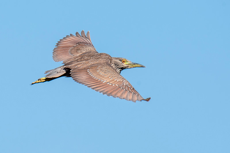 There is a place along the river in Apalachicola where I can reliably find a group of Black-crowned Night-Herons.  One morning at that place I was fortunate to get a shot of a juvenile flying over the river.