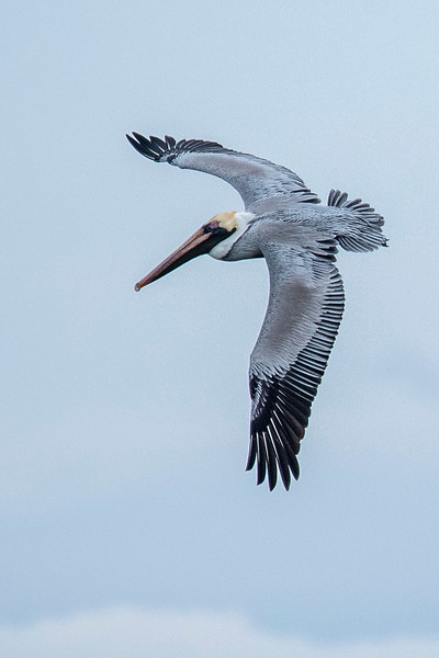 This flight shot of a Brown Pelican was taken at Sikes Cut on St. George Island.