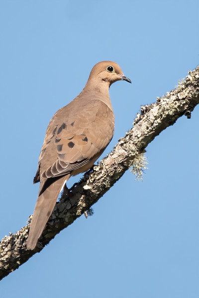 Here are some of my favorite bird photos from our Jan-Feb visit to Florida this year.<br /> <br /> On one of my visits to Bald Point State Park, this Mourning Dove flew into a tree and stayed in this perfect pose long enough for me to take its picture.